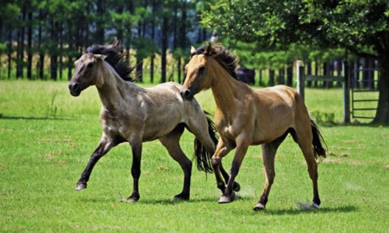 Carolina Marsh Tacky horse