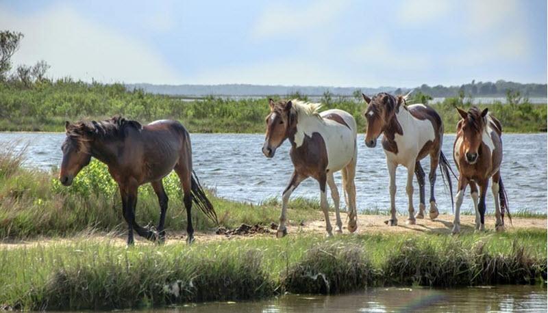 Chincoteague pony