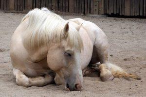 american draft horse